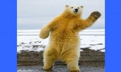 Csak egy táncoló jegesmedve