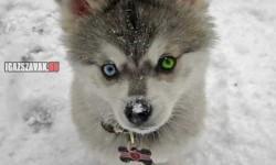 Csak egy aranyos Husky