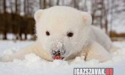 Ennivalón helyes jegesmedve kölyök aki imádja a havat