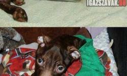 Megrázó képek – A pitbull aki nem adta föl!