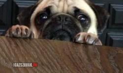 Nagyon nehéz így enni, ha ez az arc figyel az asztal túloldalán