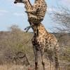 Egy példa arra hogyan vigyék magukkal csemetéiket a zsiráfok