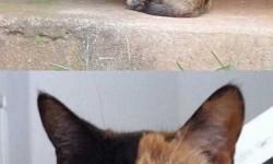 Venus a kétarcú macska