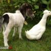 1 kacsa méretű ló