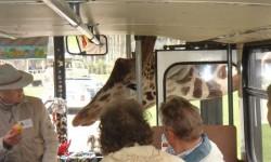 Elnézést uram, ez a busz megy Afrikába?