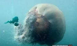 Szakállas medúza: Egy gyönyörű óriás
