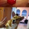 Corgi a legjobb kutya