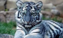 Egy gyönyörű kék tigris