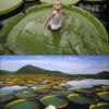 Egy csodálatos növény: Viktória Amazonica, a növény, amely maximum 40 kg elbír