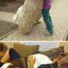 Embernagyságú óriás kutyák