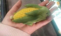 Kukorica nyuszi