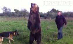 Eszméletlen – Betanított medve