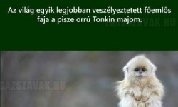 Pisze orrú Tonkin majom