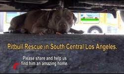 A félénk kóbor pitbull megható története