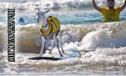 Láttál már kecskét szörfözni?