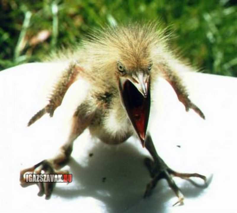 Ilyen egy igazán dühös madár