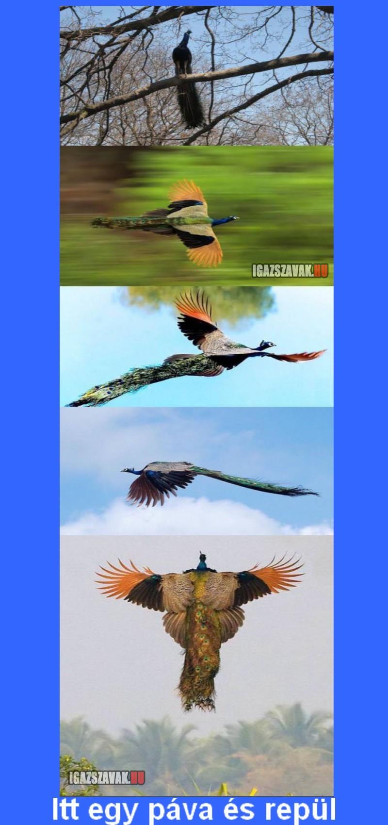 Itt egy páva és repül!