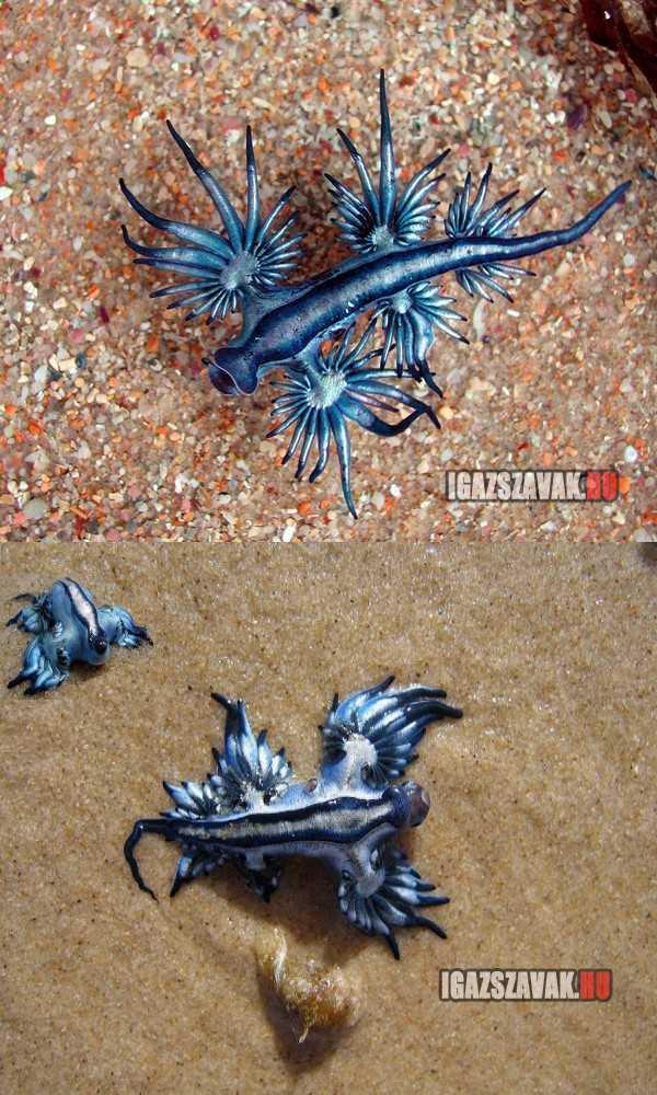 Blue Dragon , kék sárkány a világ legritkább és legszebb puhatestűje