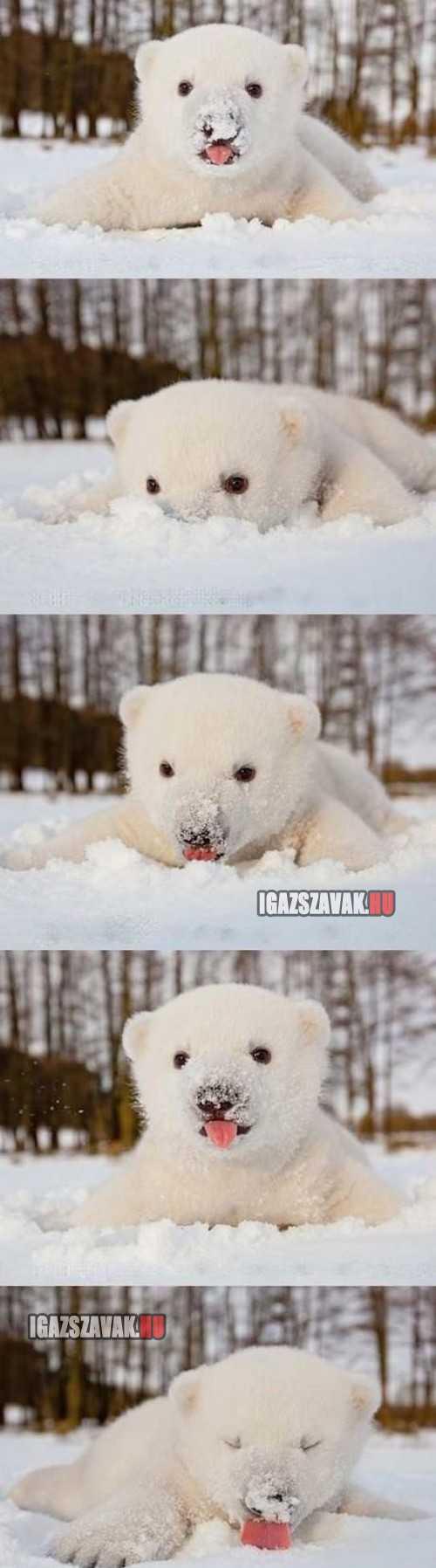 Ennivalóan helyes jegesmedve kölyök aki imádja a havat