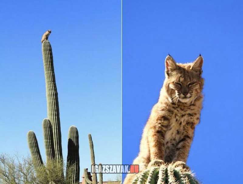 a kaktuszok úra lenéz az ő tüstés tornyából