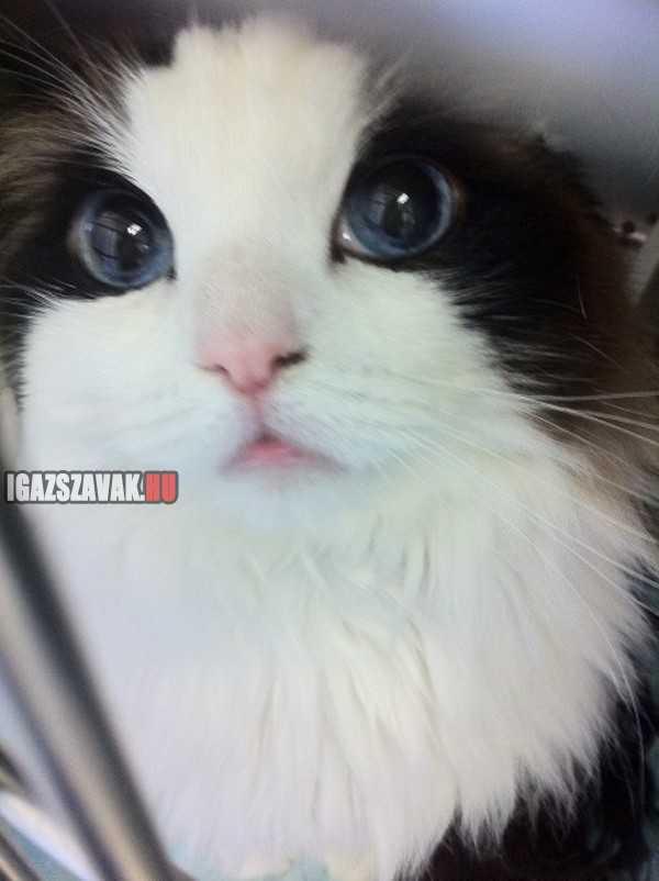 egy gyönyörű cica