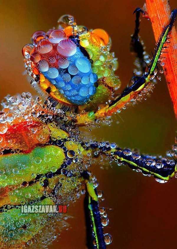 egy gyönyörű harmatos szítakötö
