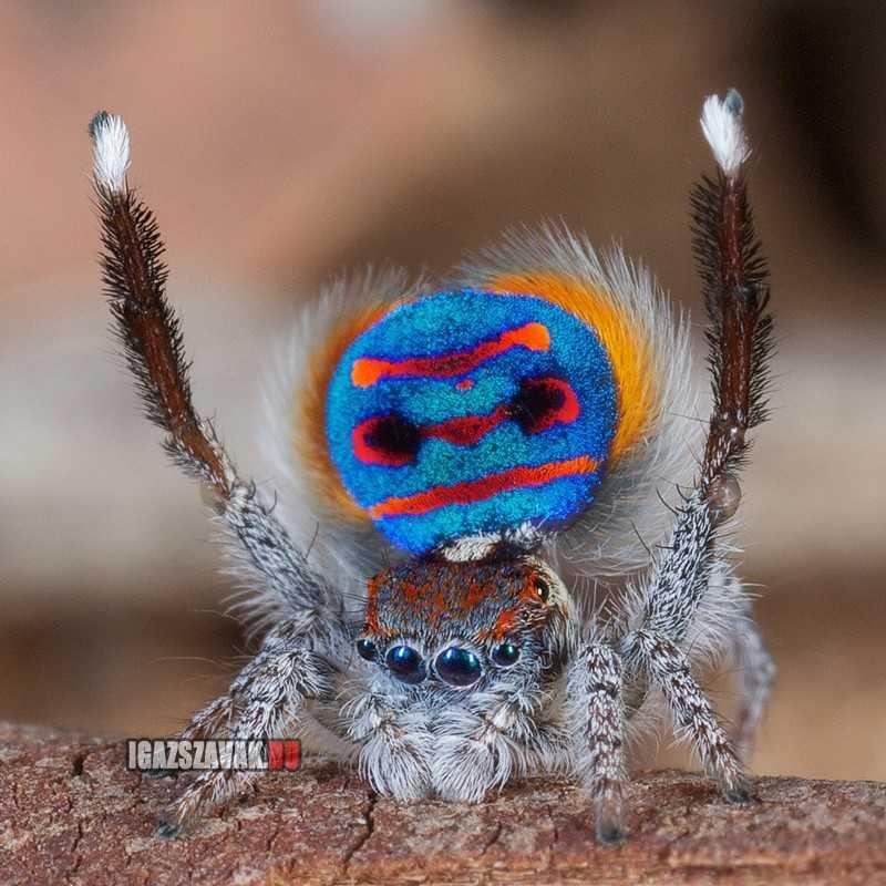 neked adom ha kell, egy igazi páva pók