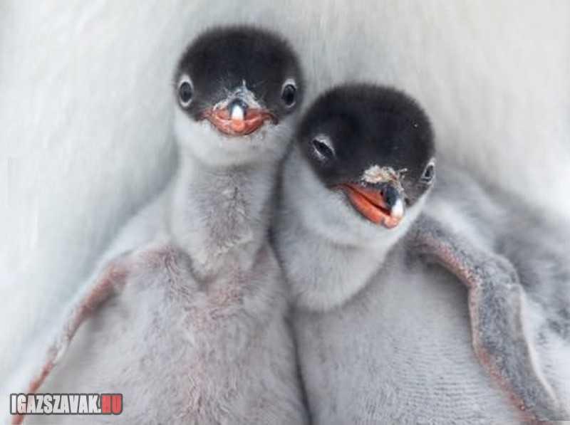 vagány fotogén pingvinek