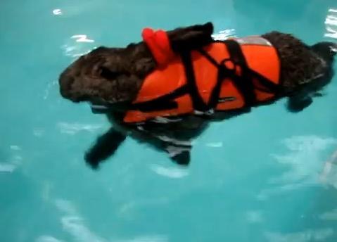 Úszni jár egy brit óriásnyúl ízületi bajai miatt