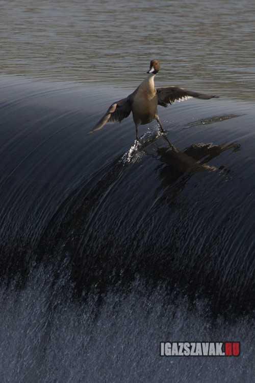 csak egy laza szörfözö kacsa