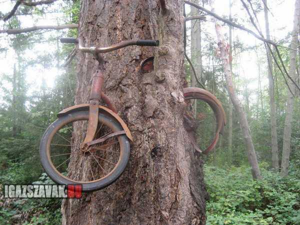 60 évvel ezelött odaláncoltam a biciklimet ehhez a fához
