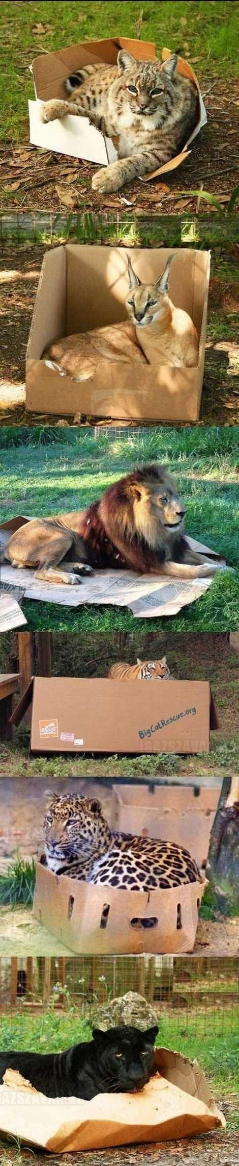 a nagy macskák ugyanugy szeretik a dobozokat