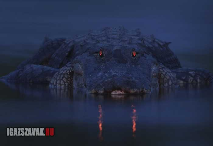 egy félelmetes aligátor