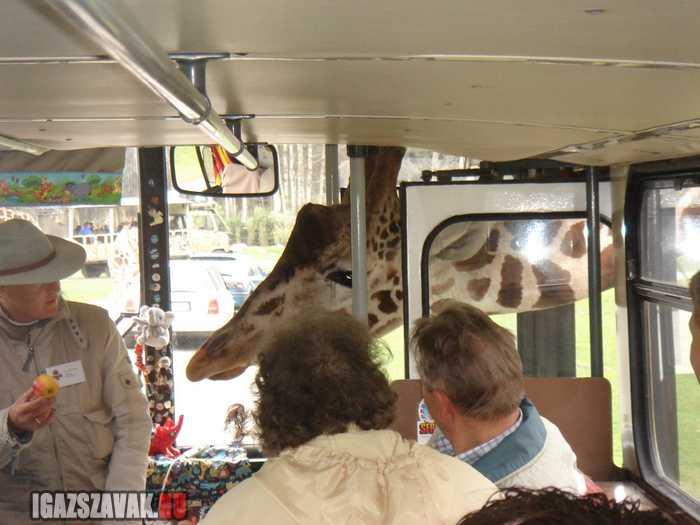elnézést uram, ez a busz megy afrikába