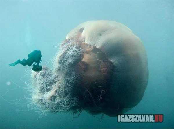 szakállas medúza egy gyönyörú óriás