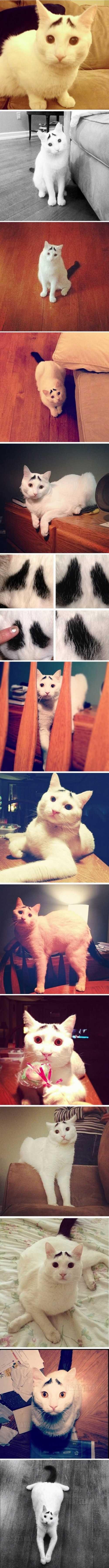 A szemöldökös cica, aki mindig kétségbe van esve
