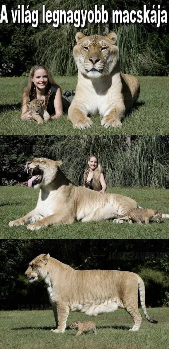 a világ legnagyobb macskája