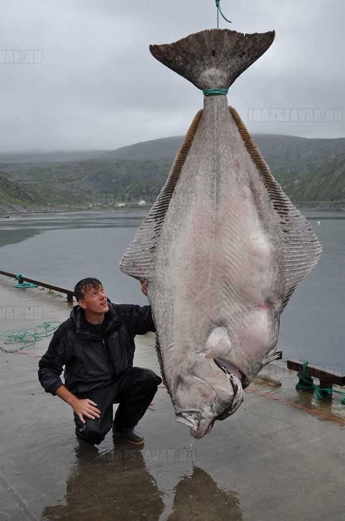 egy világrekord nagyságú laposhal. 515 kg egy német halász azt hitte tengeralattjárót fogott