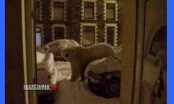 Csak egy jegesmedve az ajtómban