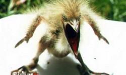 Ilyen egy igazán dühös madár!