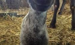 Rossz a kedved? A báránybébi majd felvidít! :)