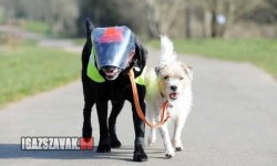 Milo a vakkutyavezető kutya