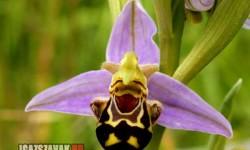 A legboldogabb  Orchidea a világon