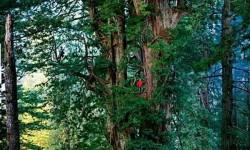 Egy 300 méter magas, 1500 éves fa