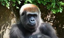 Találkoztam Júliával a gorillával  Bronx-i állatkertben, aki pózolt nekem
