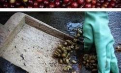 Nyami: Így készül a világ legdrágább kávéja