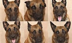 Tudományos tény: ösztönösen értelmezzük a kutyák arckifejezéseit