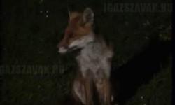 Mit mond a róka igazából